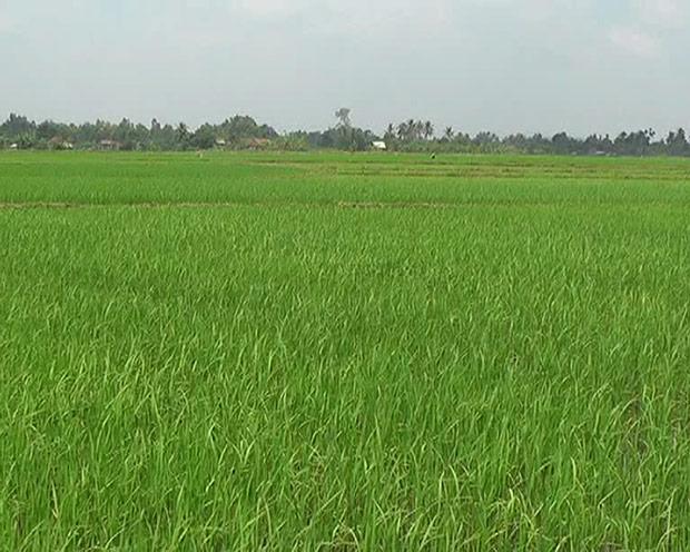 Chuyển đất trồng lúa sang đất trồng cây lâu năm